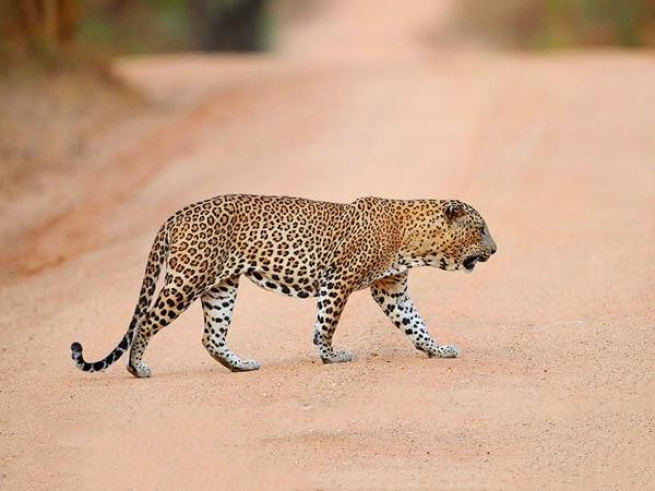 Leopard-at-Yala